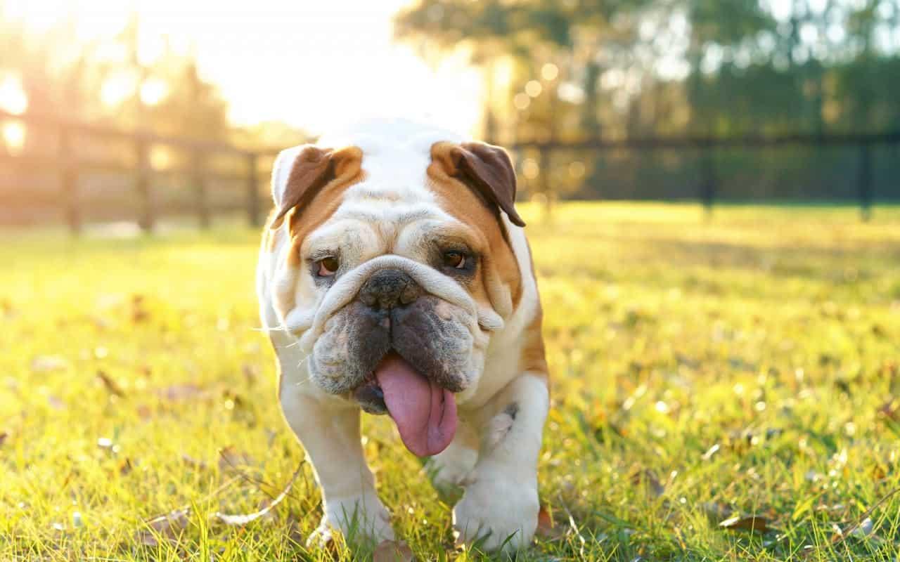 english-bulldog-best-dogs-for-children
