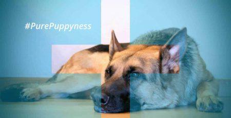 the yearly medical checkoup - german shepherd   newdoggy