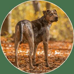 louisiana-catahoula-leopard-dog