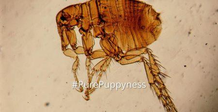 fleas-tiny-enemy
