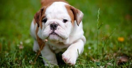 history of english bulldog