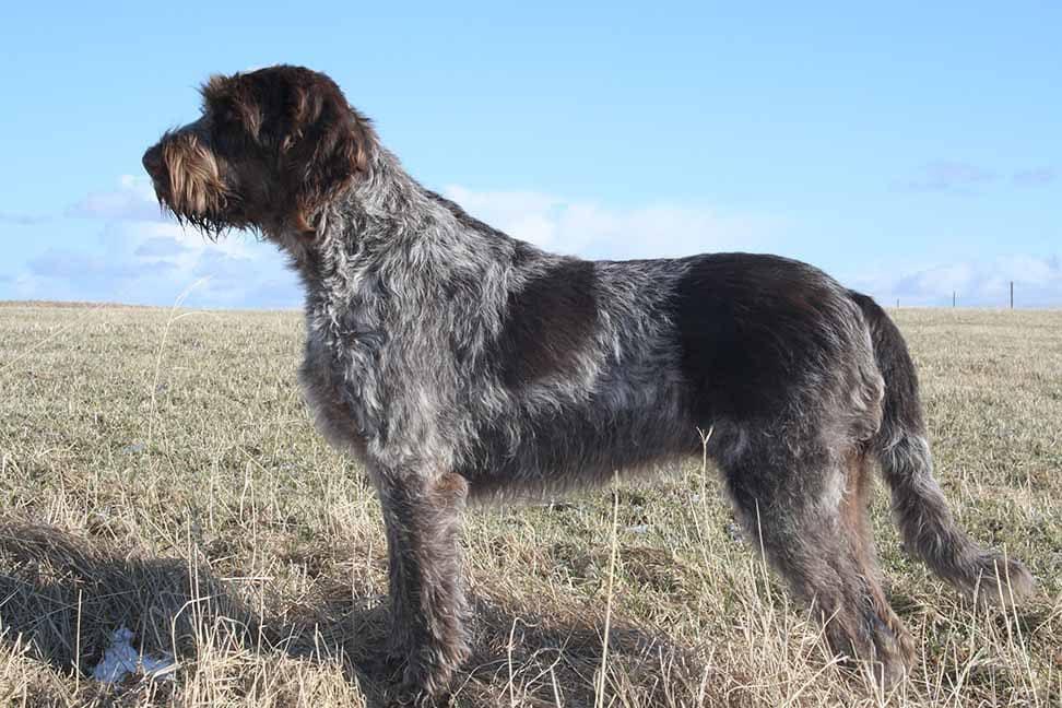 Italian Dog Breeds (Part II)