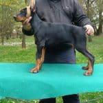 Rocky-male-dobermann-puppy-for-sale01