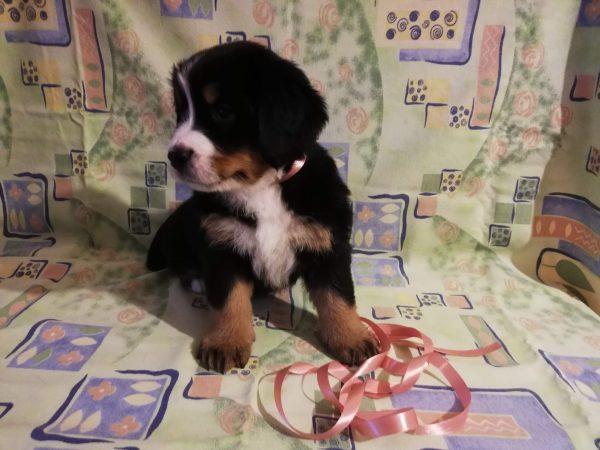 Skarlet Bernese Mountain Dog