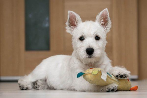 Barbara West Highland White Terrier