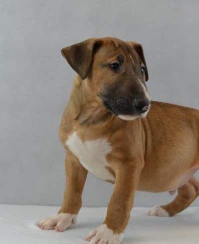 Rocky Bull Terrier