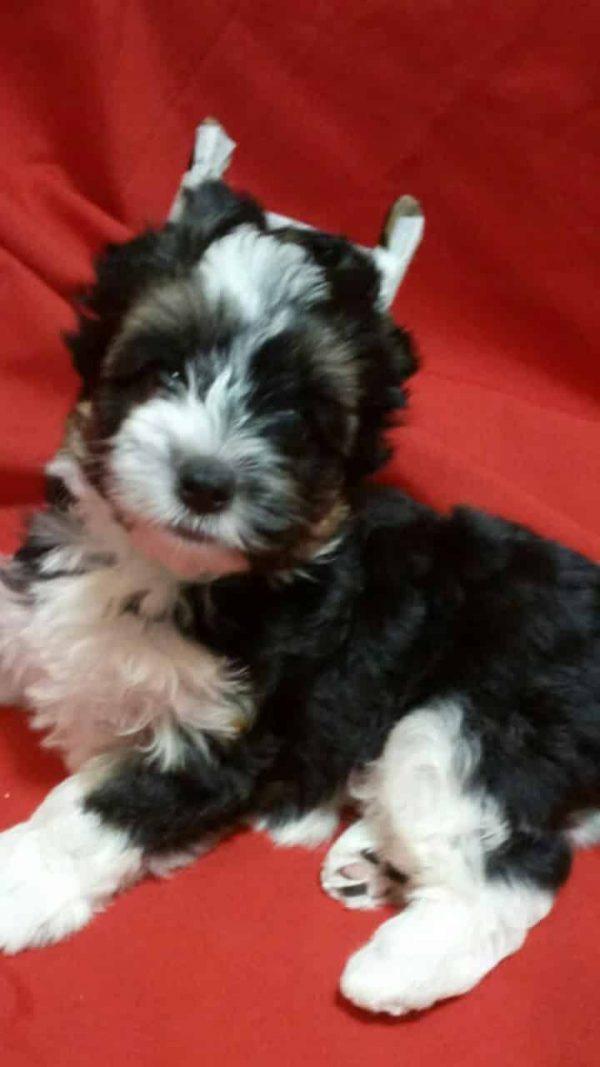 Tobby Biewer Yorkshire Terrier