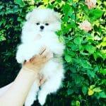 Diamond-male-pomeranian-puppy-for-sale