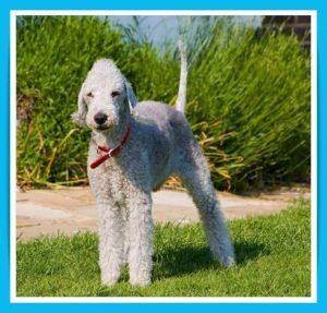 bedlington-terrier