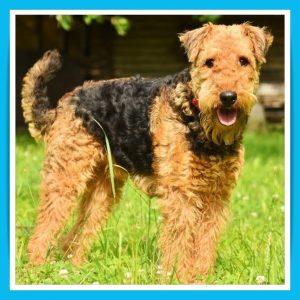 airedaile-terrier