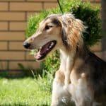 Demi Moore-female-Saluki Persian Hound-puppy-for-sale (2)