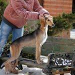 Demi Moore-female-Saluki Persian Hound-puppy-for-sale (5)
