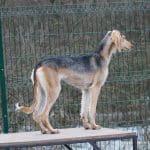 Demi Moore-female-Saluki Persian Hound-puppy-for-sale (6)
