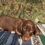 Benoit-male-dachshund-puppy-for-sale03