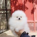 Greco Roman-male-Pomeranian-puppy-for-sale (3)