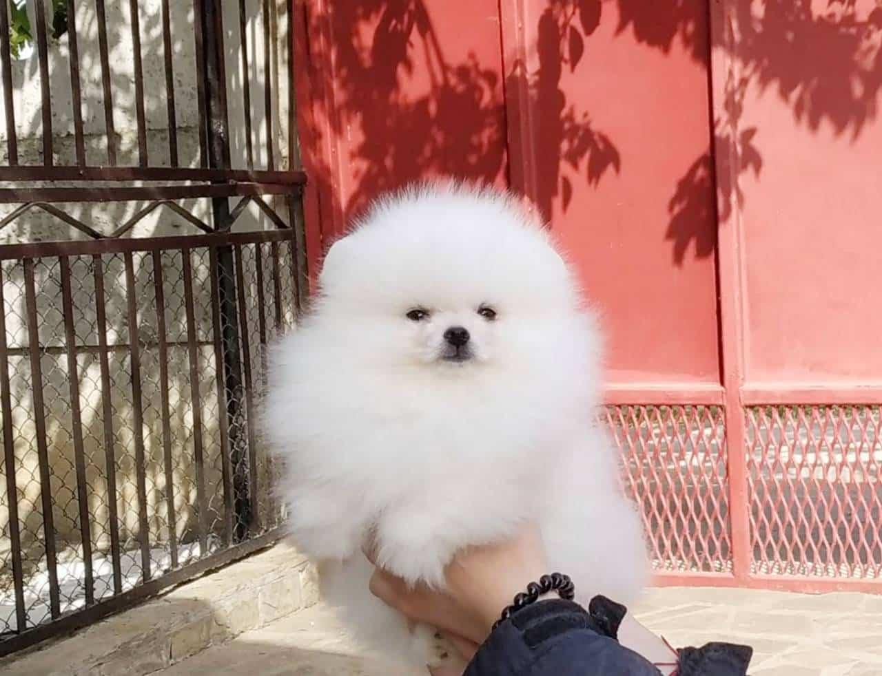 Greco Roman male Pomeranian sold Newdoggy.com