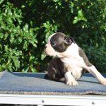 Libby Boston Terrier