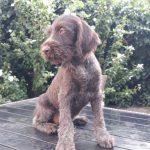 Maura-female-deutsch-drahthaar-puppy-for-sale02