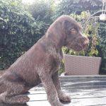 Maura-female-deutsch-drahthaar-puppy-for-sale03